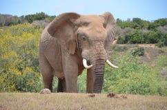 Elefante en Addo Elephant National Park Fotos de archivo libres de regalías