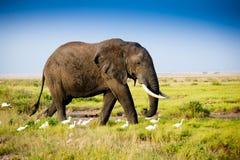 Elefante en amboseli Imagen de archivo libre de regalías