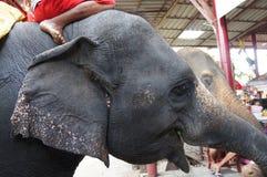 Elefante en Ayuthaya Tailandia Foto de archivo libre de regalías