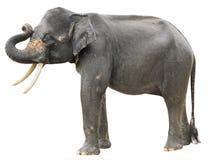 Elefante en blanco Foto de archivo