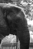 Elefante en blanco y negro Fotos de archivo libres de regalías