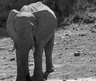 Elefante en el agujero de agua fotografía de archivo