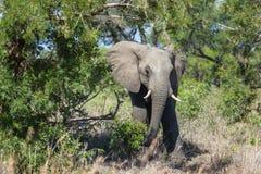 Elefante en el arbusto Imagenes de archivo