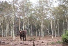 Elefante en el bosque foto de archivo libre de regalías