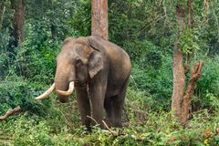Elefante en el bosque de Ayarabeedu, Karnataka la India fotos de archivo libres de regalías