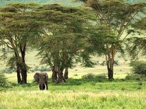 Elefante en el bosque de Ngorongoro Fotos de archivo libres de regalías