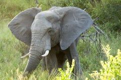 Elefante en el bushland, parque nacional de Kruger, Suráfrica fotografía de archivo libre de regalías