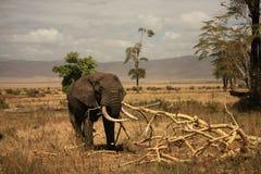 Elefante en el cráter de Ngorongoro, Tanzania Foto de archivo