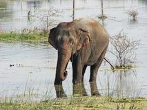 Elefante en el lago foto de archivo libre de regalías