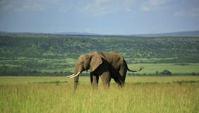 Elefante en el Masai Mara Fotografía de archivo libre de regalías