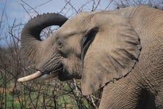 Elefante en el parque de Kruger Imagenes de archivo