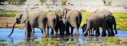 Elefante en el parque nacional de Etosha Foto de archivo