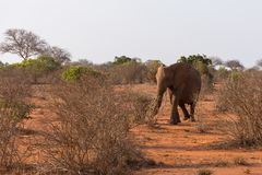 Elefante en el parque nacional de Tsave, Kenia imagen de archivo libre de regalías