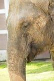 Elefante en el parque zoológico, cierre para arriba Fotografía de archivo