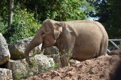 Elefante en el parque zoológico de Chester Foto de archivo libre de regalías