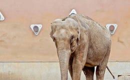 Elefante en el parque zoológico de Moscú Foto de archivo