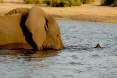 Elefante en el río Fotografía de archivo libre de regalías