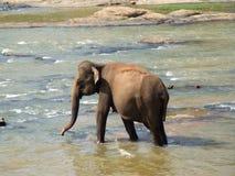 Elefante en el río de Maha Oya Foto de archivo libre de regalías