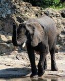 Elefante en el reino animal Imágenes de archivo libres de regalías