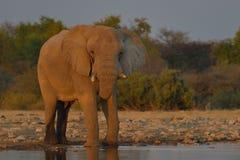 Elefante en el sol poniente, agua potable en el parque nacional de Etosha, Namibia Foto de archivo