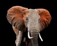 Elefante en fondo oscuro imágenes de archivo libres de regalías
