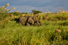 Elefante en la caña Imagen de archivo libre de regalías