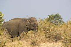 Elefante en los arbustos imagen de archivo libre de regalías