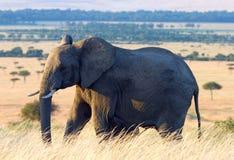 Elefante en los llanos africanos Fotografía de archivo libre de regalías