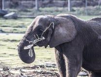 Elefante en Midland del oeste Safari Park, Bewdley, Hereford y Worcester, Inglaterra foto de archivo