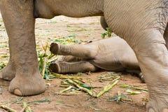 Elefante en parque de naturaleza protegido fotografía de archivo