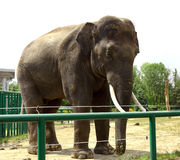 Elefante en parque zoológico Imágenes de archivo libres de regalías