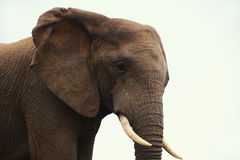 Elefante en perfil imagenes de archivo
