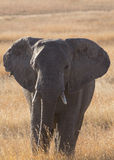 Elefante en Serengeti Imagenes de archivo