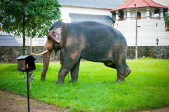 Elefante en Sri Dalada Maligawa Sri Lanka Foto de archivo libre de regalías