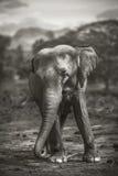 Elefante en Sri Lanka Fotos de archivo libres de regalías