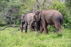 Elefante en Sri Lanka fotos de archivo
