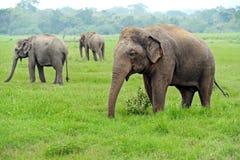Elefante en Sri Lanka fotografía de archivo libre de regalías
