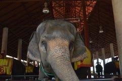 Elefante en Tailandia fotos de archivo libres de regalías