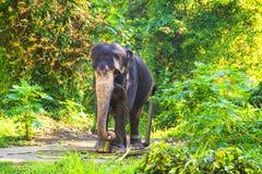 Elefante en un cuarto de niños del elefante contra un fondo de la naturaleza tropical, Sri Lanka Foto de archivo