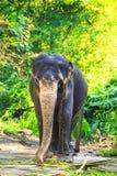 Elefante en un cuarto de niños del elefante contra un fondo de la naturaleza tropical, Sri Lanka Imagen de archivo