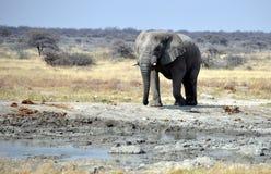 Elefante en Waterhole entre las palmeras Imagen de archivo