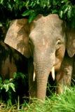 Elefante enano Imágenes de archivo libres de regalías