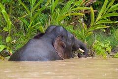 Elefante enano Fotografía de archivo