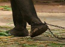 Elefante encadenado Imagen de archivo libre de regalías