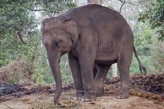 Elefante encadenado del bebé fotografía de archivo libre de regalías