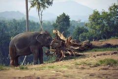Elefante encadenado a un gancho Fotografía de archivo libre de regalías