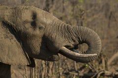 Elefante endurecido na lama como a proteção do sol foto de stock royalty free
