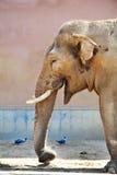 Elefante engraçado em um jardim zoológico foto de stock