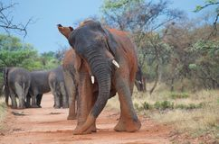 Elefante Enigma fotografia stock