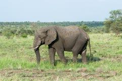 Elefante enorme che cammina sul selvaggio fotografia stock